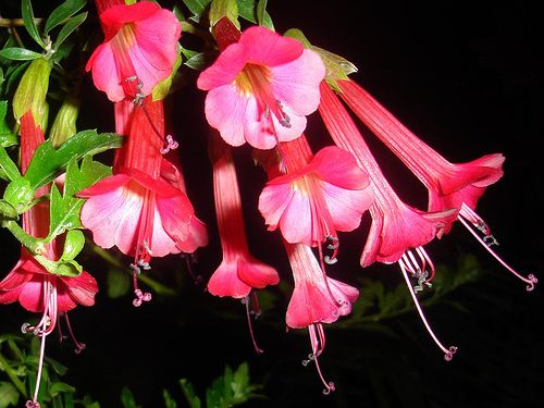 A.   The national flower of Peru is the Cantuta. It can be found at the high valleys of the Andean territory, in Peru and Bolivia. (What can you smell?)