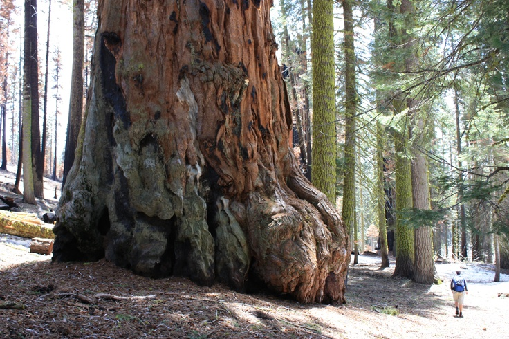 Giant Sequoia, Sequoia National Park CA, May 2010.