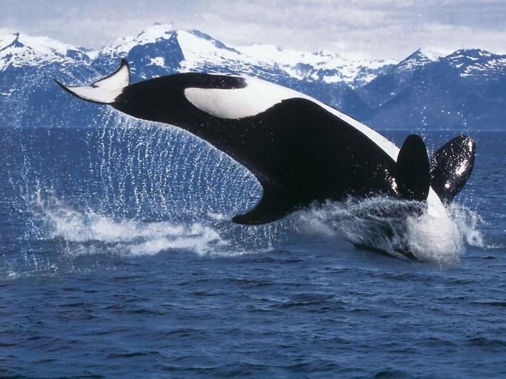 A Killer Whale (Orca) - From www.spreekbeurten.info