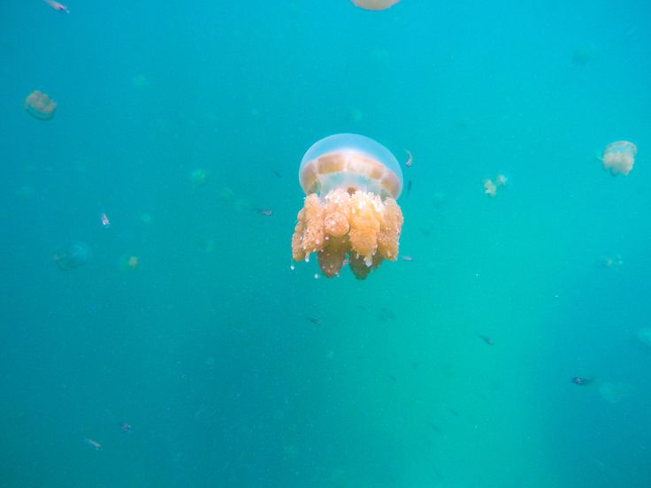 Swimming with the stingless jellyfish in Kakaban Island   Derawan Archipelago, East Kalimantan, Indonesia
