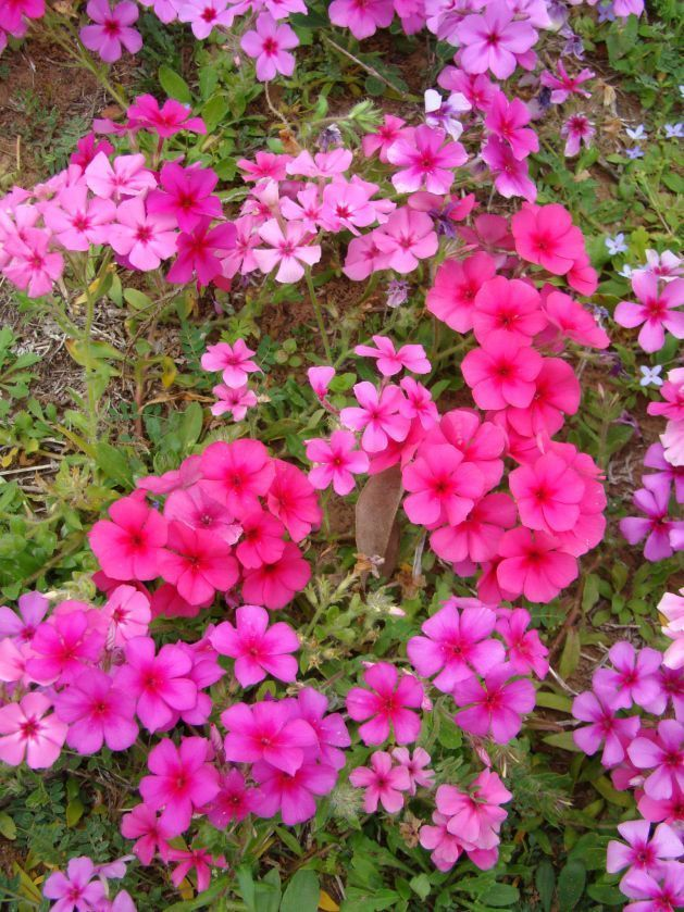 Live Flower Garden : Phlox st century pink live flower plants plugs home