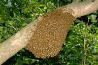 Swarm of honey bees on walnut tree limb.  Learn how to remove honey bee swarms and established hives.