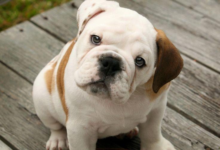 perro bulldog - Buscar con Google
