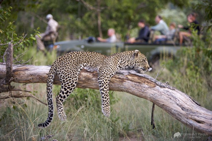 A drowsy leopard rests, giving visitors an incredible chance to enjoy its beauty.  http://www.mangoafricansafaris.com/