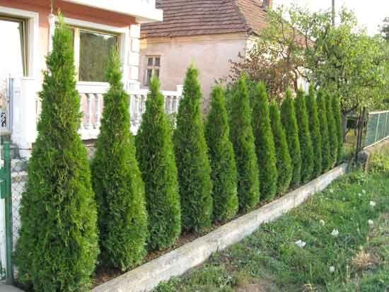 NOVINKY 2015 + AKČNÁ PONUKA | Tuja Smaragd 25-35cm | Obchod rastlín - Brest.sk