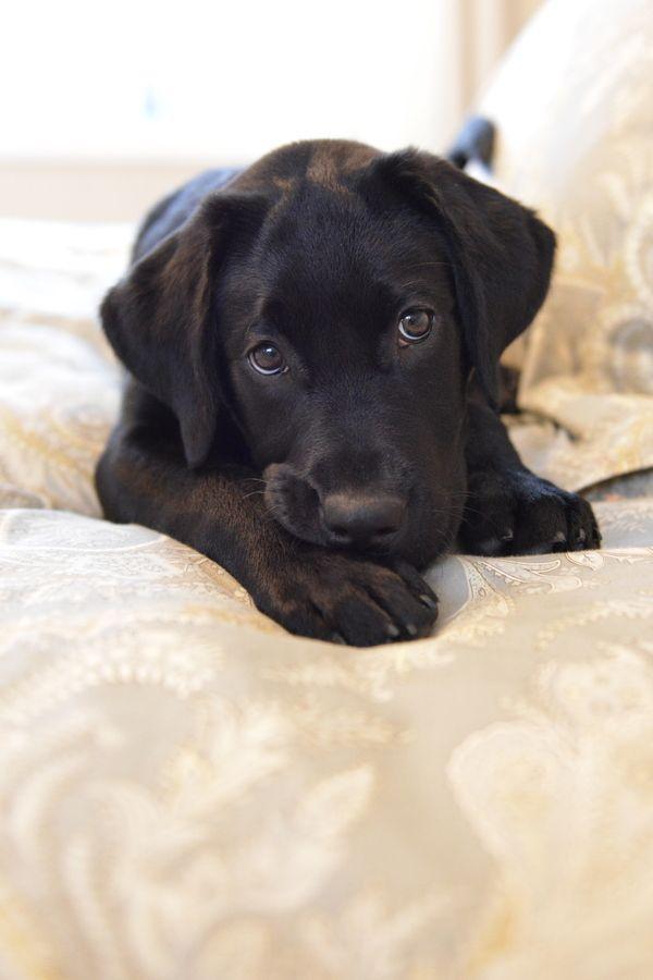 The cutest black labrador puppy!