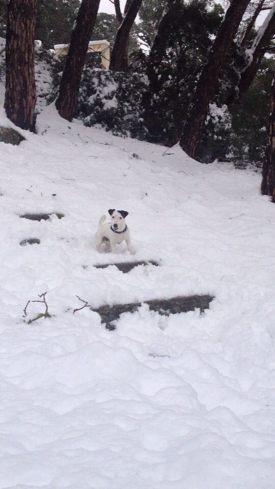 Jack russel in the Snow 😍
