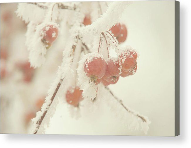 Jenny Rainbow Fine Art Photography Acrylic Print featuring the photograph Frosted Red Apples. Gentle Winter by Jenny Rainbow