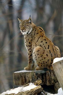 Eurasian lynx or Siberian lynx (Lynx lynx) - photo by , via Wikipedia;  This is a medium-sized cat native to European and Siberian forests, Central Asia and East Asia. It is the largest lynx, ranging from 31 to 51 inches long, and standing about 28 inches at the shoulder.  The tail is only 4 - 9.8 inches long and has a black tip.  There are black tufts on its ears, and a long ruff at its neck. The fur almost always has black spots, but it varies in number and pattern.