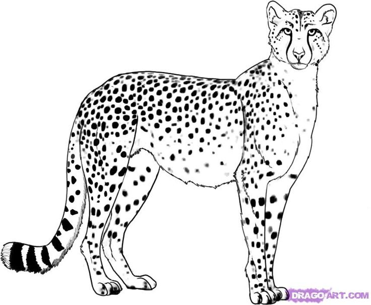 How To Draw A Cheetah by Dawn Cheetah pictures, Cheetah