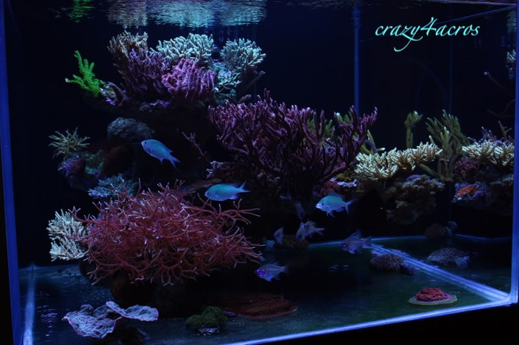 IMO one of the sweetest looking reef tanks out there: Crazy4Acros Bonsai inspired Aquascape on Reefcentral