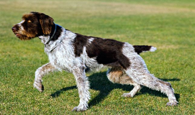Everything You Want To Know About German Wirehaired