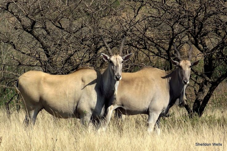 Common Eland at Tala Game Reserve