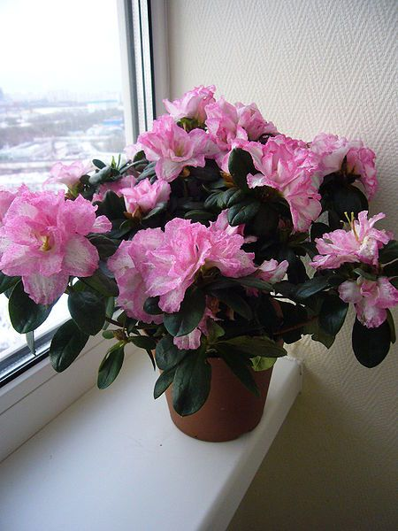 How to Care for Indoor Azaleas | Garden Guides