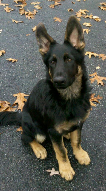 Another Black/Tan or Bicolor thread - German Shepherd Dog Forums