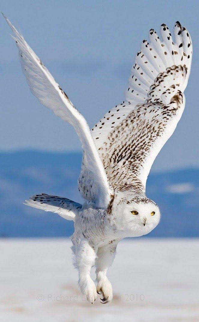 белая сова севера при приземлении фото прошла отлично, врач
