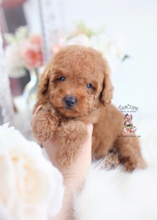 Apricot Poodle Puppy Toy Poodle Puppies Poodle Mix Puppies