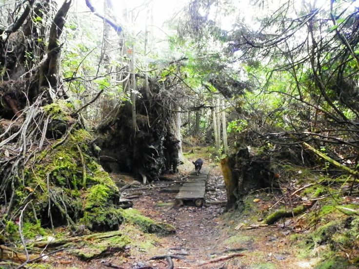 You gotta imagine what kind of wind storm it takes to push down these ancient old growth cedar trees and they are on the ground everywhere