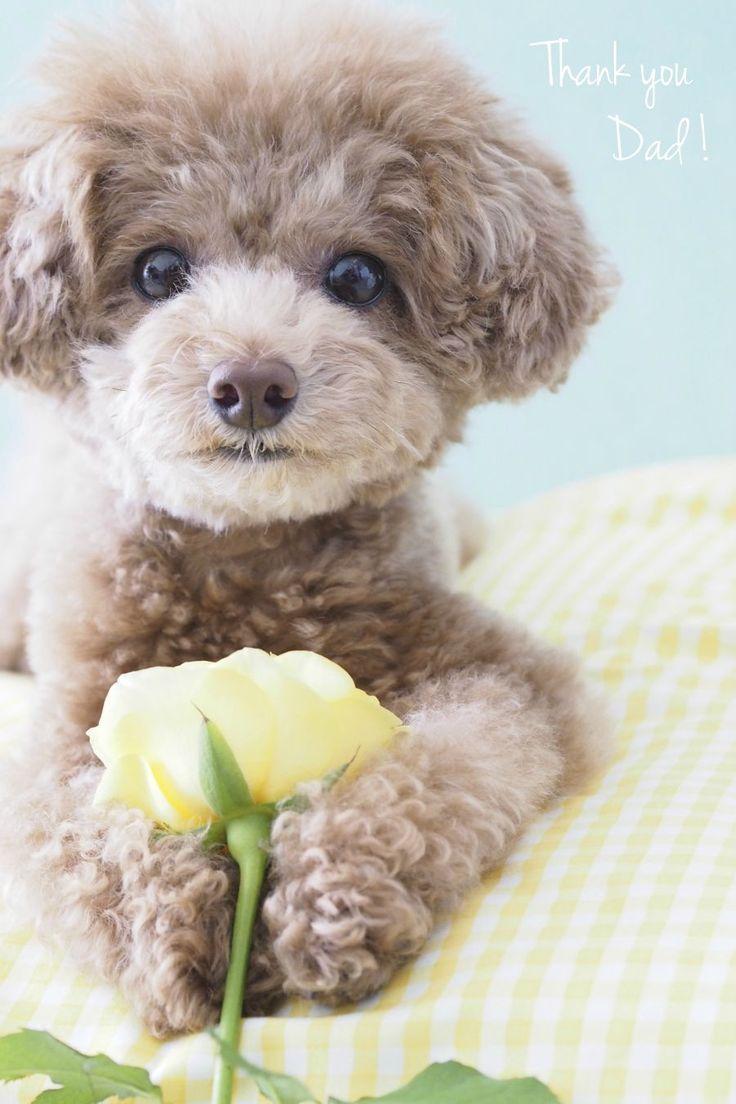 17 Terbaik Ide Tentang Anjing Poodle Di Pinterest Mainan Pudel