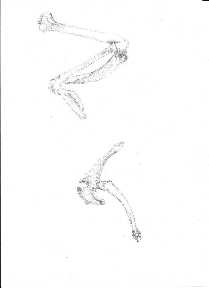 North Island Weka (top) and North Island Brown Kiwi (bottom) wing comparrison,  Gallirallus australis, Aperyx mantelli