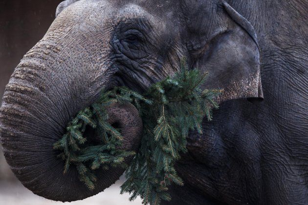 An elephant eats a Christmas tree at the Berlin Zoo at the launch of the annual feeding of Christmas trees in Berlin, Friday, Jan. 4, 2013.