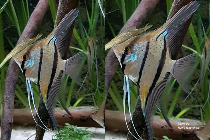A Regal Angelfish will really brighten up any tank and instantly become a showpiece fish At nearly 10 inches in size as an adult the Regal Angel needs at least an aquarium 125 gallons or large to get happy and thrive The Regal Angel is a pretty passive angelfish so it should be introduced to your tank before other more aggressive angels