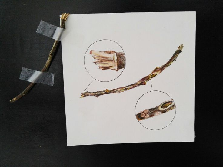 A drawing with two zoomed-in detailed drawings of a tree branch using color pencils to emphasize the colors.
