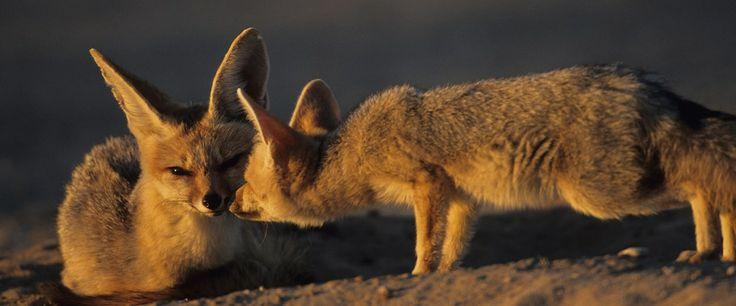 Kalahari wildlife