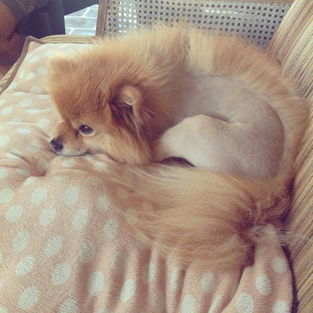 Instagram media by pepeandfriends - The Mohawk look pomeranian style #pepethepom…