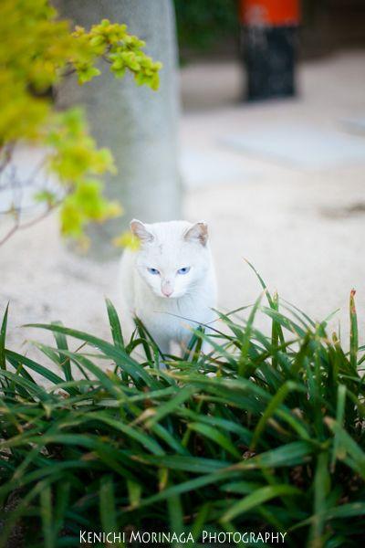 青い瞳の白いネコ - ○○しゃしんのじかん    http://blog.goo.ne.jp/moriken_photo/