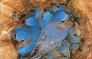 :): Birds Nests, Bluebirds Roost, House, Amazing Birds, Families, Blue Birds, Photo, Beautiful Image, Feathers Friends