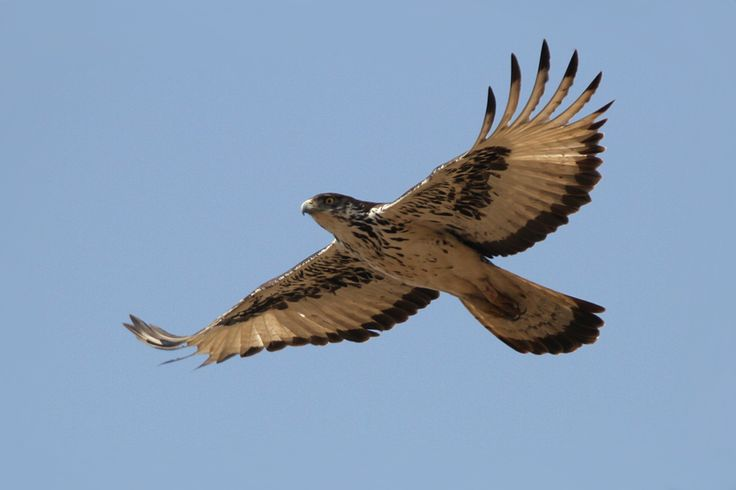 African hawk eagles may have inspired much of the ancient ...