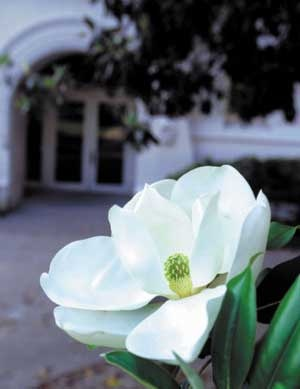 Magnolia, state flower. New Orleans.: States Flowers