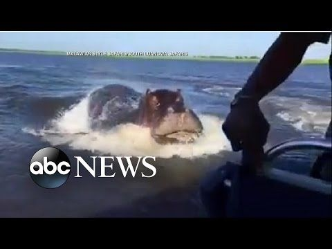 ▶ Hippo Chases Behind Speed Boat in Frightening Moment - YouTube
