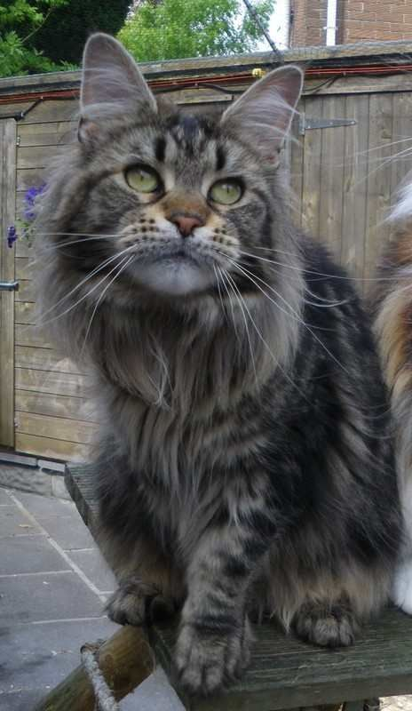 Brown tabby Maine Coon cat http://www.mainecoonguide.com/