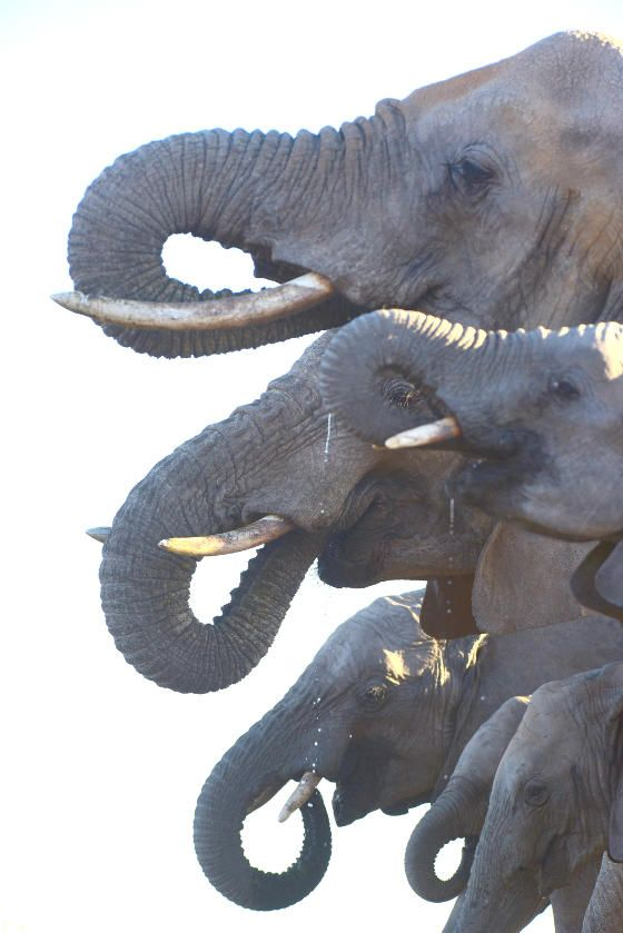 The spectacular malaria-free Madikwe Game Reserve is one of South Africa's largest game reserves, covering a good 75,000 hectares which is enclosed with a 150km perimeter fence. Vast plains of open woodlands and grasslands support a rich diversity of vegetation. The varied vegetation ensures a wide variety of wildlife and the topography offers ideal game viewing opportunities .