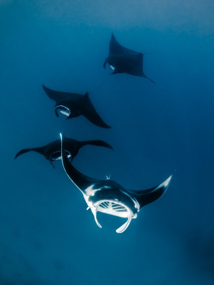 Photos: A Sanctuary for Enormous, Majestic Manta Rays | Reef manta rays form a feeding train in Raja Ampat, Indonesia.  Shawn Heinrichs for WildAid
