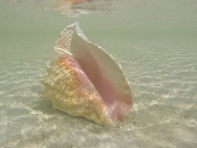 CONCH SHELL | Buy Queen Conch Shell on an Underwater Sandbar in the Florida Keys Now