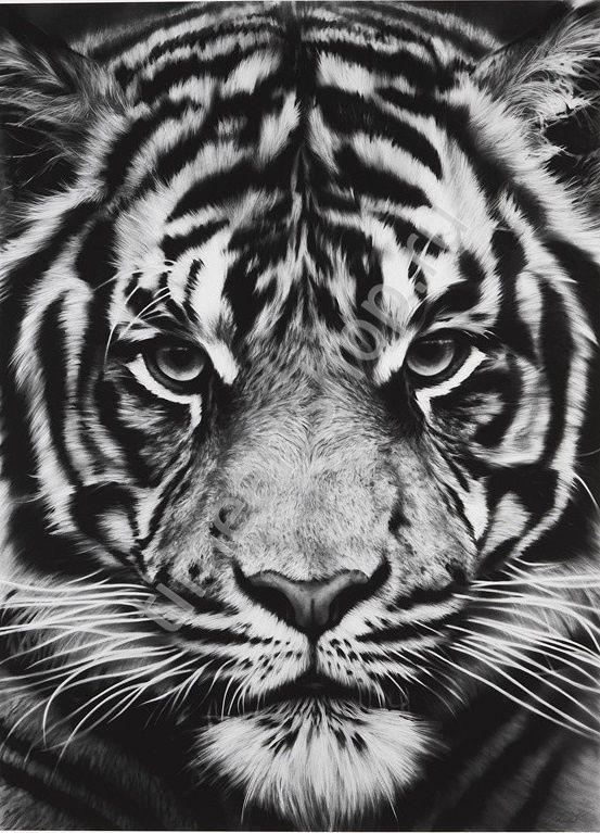 Царский взгляд тигра, картина раскраска по номерам, на ...