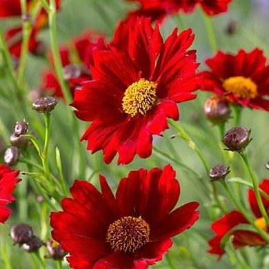 'Mercury Rising' Coreopsis - Wine-red flowers will delight pollinators, not to mention those who appreciate vigorous growth and disease-resistance. USDA zones: 5-9