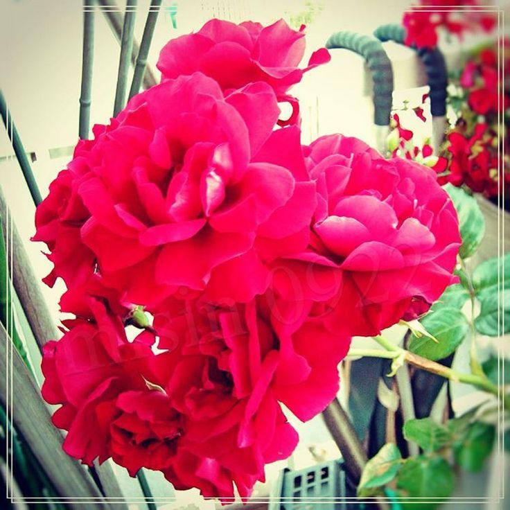 満開に咲いていたので。 #日本 #東京 #薔薇 #バラ #深紅 #rosestagram #rose #red #love #like #beautiful