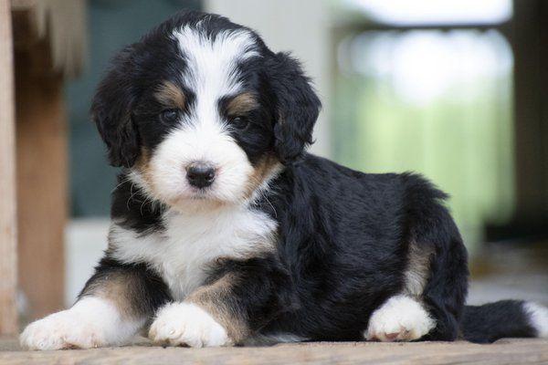 Bernedoodle Pet Bernedoodle Bernedoodle Puppy Pets