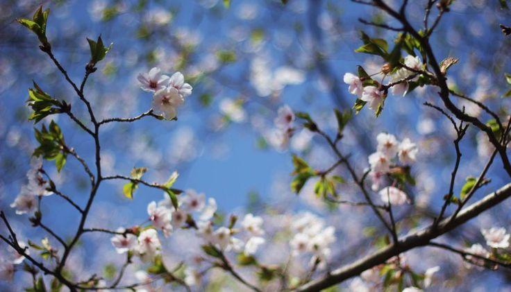 Cherry Blossoms, High Park, Toronto