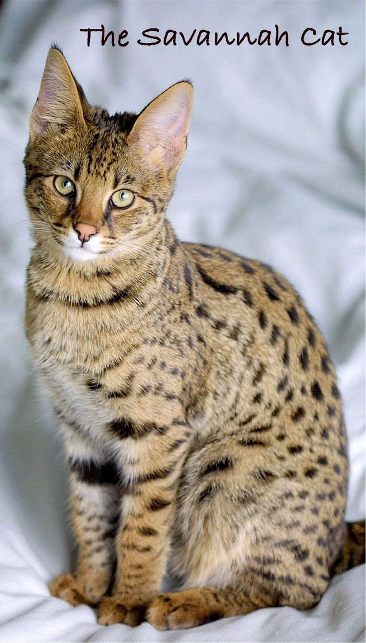 A Complete Guide To Domestic Savannah Cats. From Savannah Cat cost, to temperament, behavior, care, health and much more.