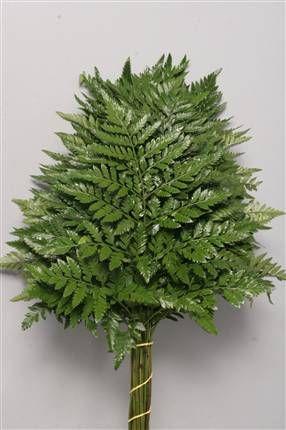 Leather Leaf 'nahkasanikka' (nahkalehti) Rumohra adiantiformis