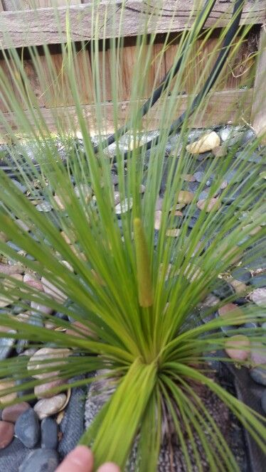 Grass tree 20/9