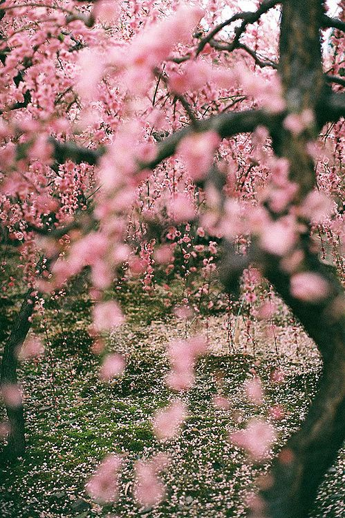 : Nature, Blossom Trees, Pink, Cherries, Flowers, Spring, Garden, Cherry Blossoms