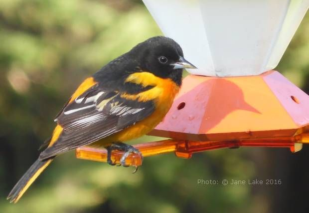 How To Make Homemade Oriole Food Nectar From A Sugar And Water Recipe Plus How To Attract Orioles To Your Garde Oriole Bird Feeders Backyard Birds Oriole Bird