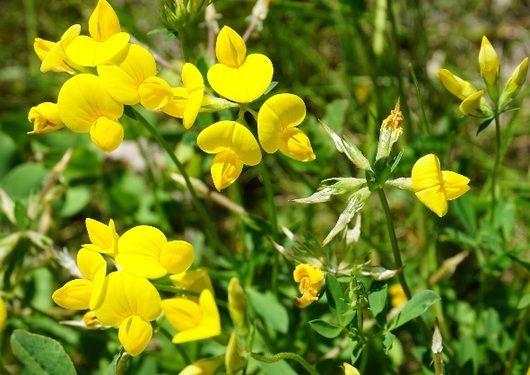 Adaptación de Lotus a nuevos ambientes El Lotus (Lotus tenuis) es una leguminosa tolerante a suelos de baja fertilidad, pH elevado, y anegamientos frecuentes; adaptada a áreas marginales en zonas templado – húmedas. Debido a su calidad forrajera pued