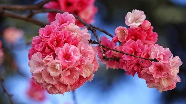 Bunga Liar Merah